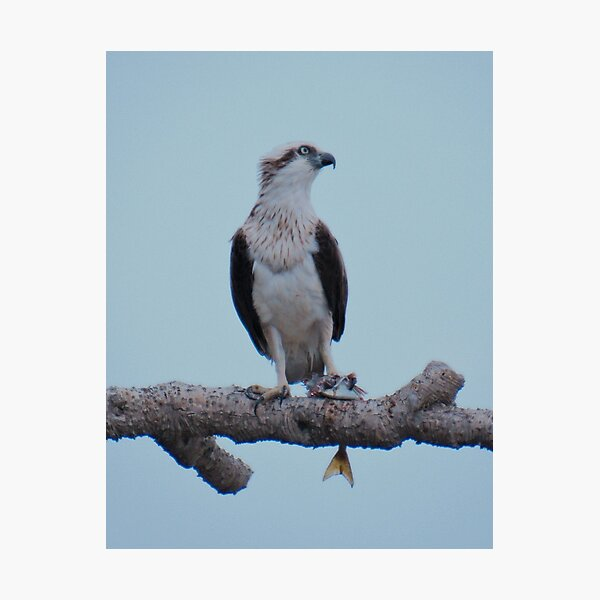 RAPTOR ~ SC ~ Eastern Osprey by David Irwin 031019 Photographic Print
