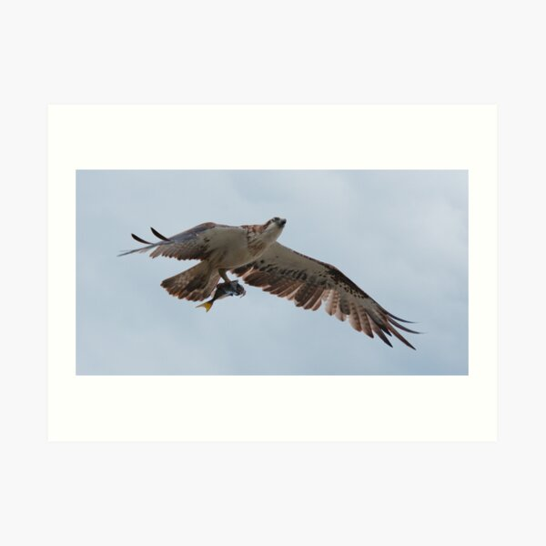 RAPTOR ~ SC ~ Eastern Osprey 2 by David Irwin 031019 Art Print