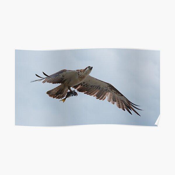 RAPTOR ~ SC ~ Eastern Osprey LVYUQLSB by David Irwin 031019 Poster