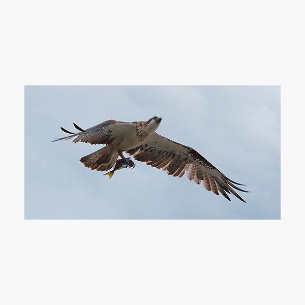 RAPTOR ~ SC ~ Eastern Osprey 2 by David Irwin 031019 Photographic Print
