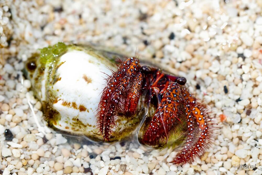 Gili Island Hermit Crab 1 by Normf