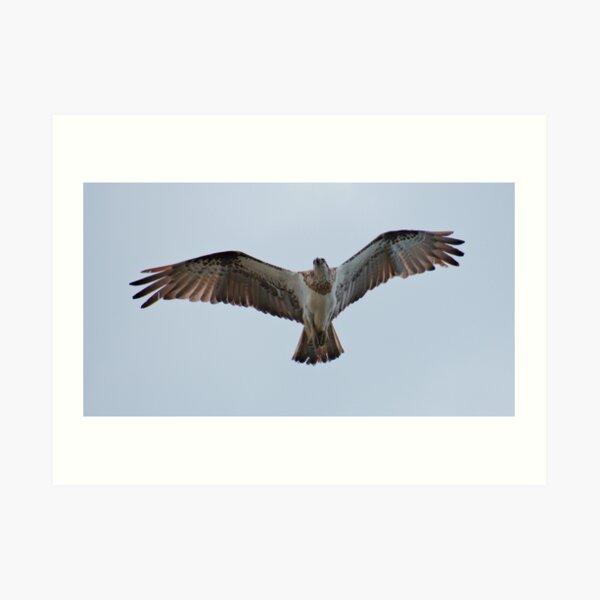 RAPTOR ~ SC ~ Eastern Osprey 3 by David Irwin 031019 Art Print