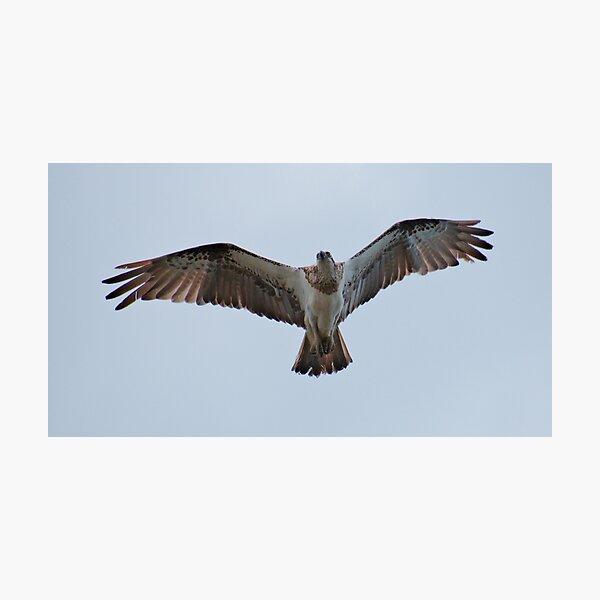 RAPTOR ~ SC ~ Eastern Osprey MNZVFDBH by David Irwin 031019 Photographic Print