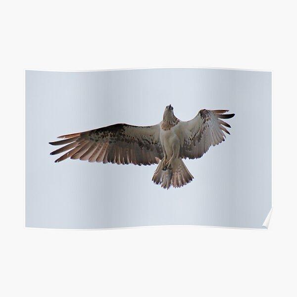 RAPTOR ~ SC ~ Eastern Osprey 4 by David Irwin 031019 Poster