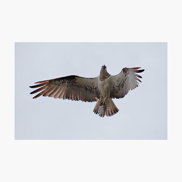 RAPTOR ~ SC ~ Eastern Osprey 4 by David Irwin 031019 Photographic Print