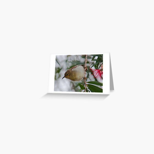 HONEYEATER ~ SC ~ Scarlet Honeyeater by David Irwin 031019 Greeting Card