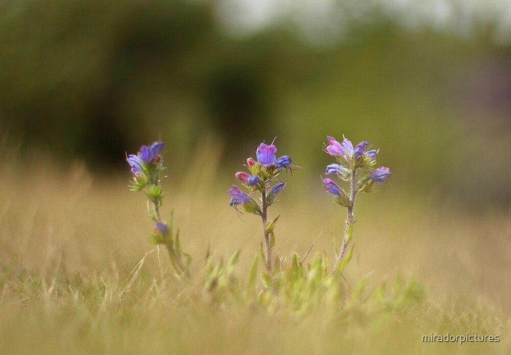 Vipers blooms by miradorpictures
