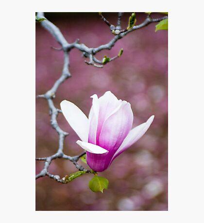 Pink Magnolia Blossom Photographic Print