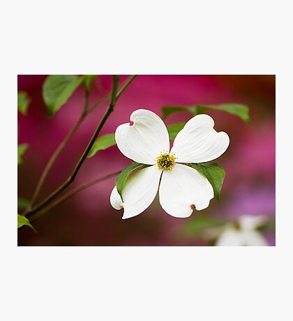 White Flowering Dogwood Blossom Photographic Print