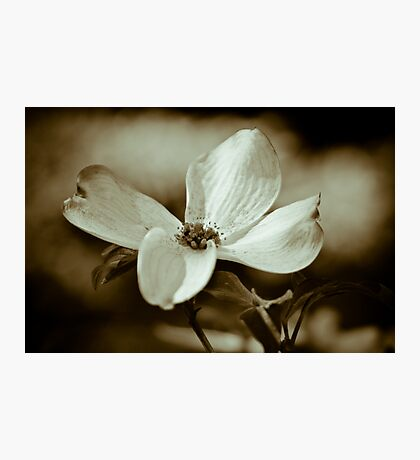 Monochrome Flowering Dogwood Blossom Photographic Print