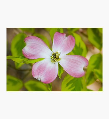 Pink Flowering Dogwood Blossom Photographic Print