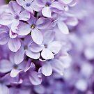 Colorful Lilac by Oscar Gutierrez