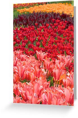 Colorful Tulip Garden by Oscar Gutierrez