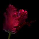 Red Parrot Tulip by Oscar Gutierrez