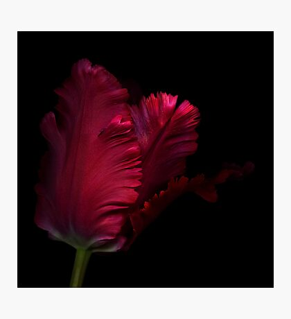 Red Parrot Tulip Photographic Print