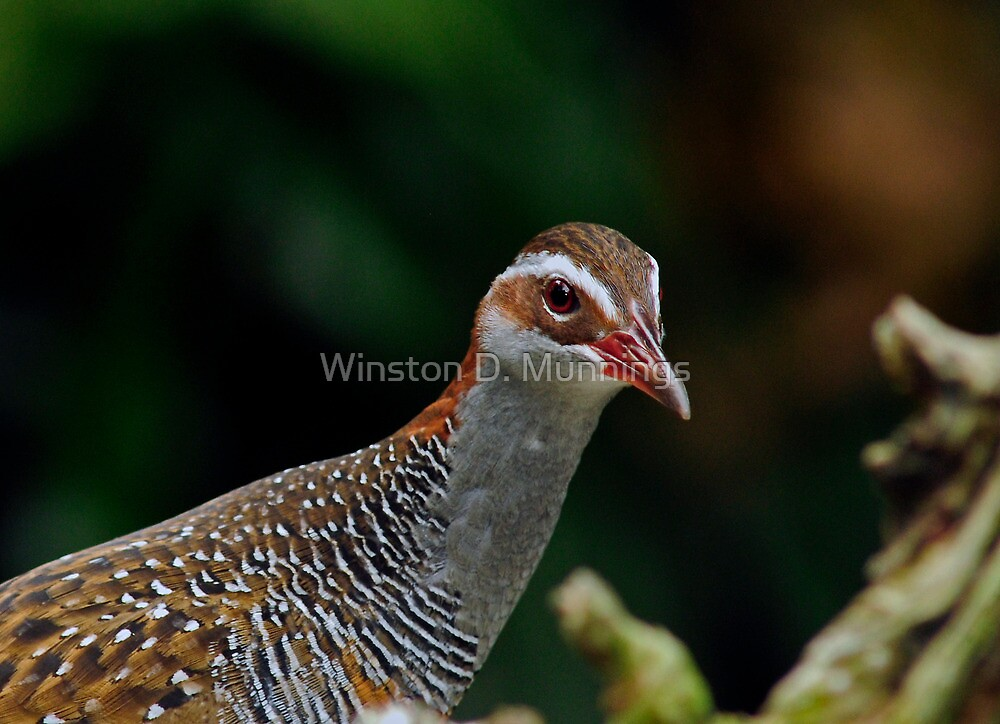 Buff Banded Rail by Winston D. Munnings