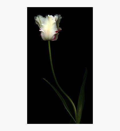 White Parrot Tulip Photographic Print