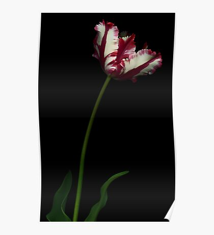 White and Red Tulip I Poster