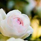 Pale Pink English Rose by Oscar Gutierrez