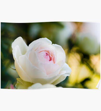 Pale Pink English Rose Poster
