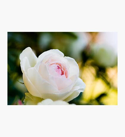 Pale Pink English Rose Photographic Print
