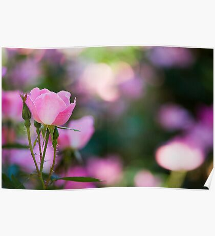 Pink Rose Bush Poster