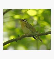 Worm-eating Warbler Photographic Print