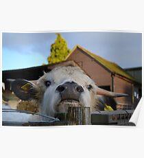 Highland Cow - Tilgate Farm Poster