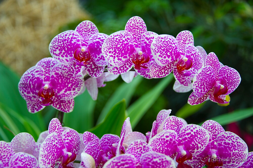 Orchids - Hong Kong Park by Richie Wessen