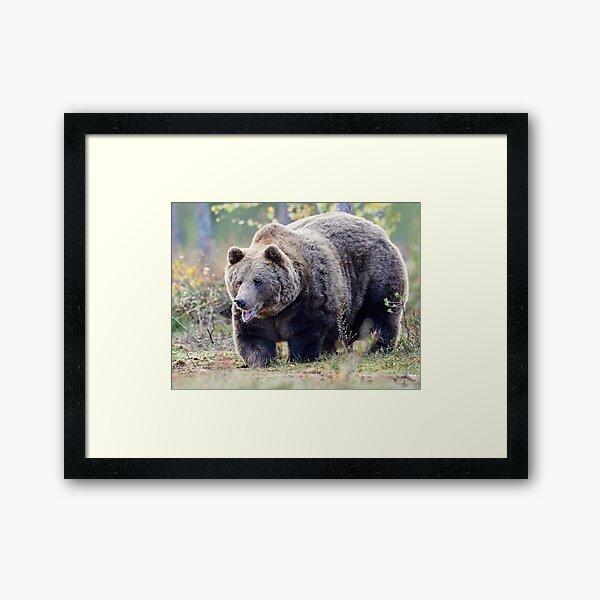 The Laughing Bear  Framed Art Print
