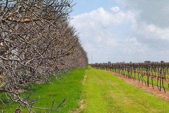 The Vineyard - Naracoorte, South Australia by Heather Samsa