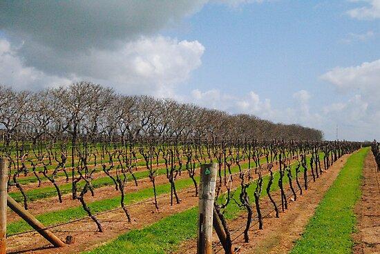 Vineyard in Autumn - Naracoorte, South Australia by Heather Samsa