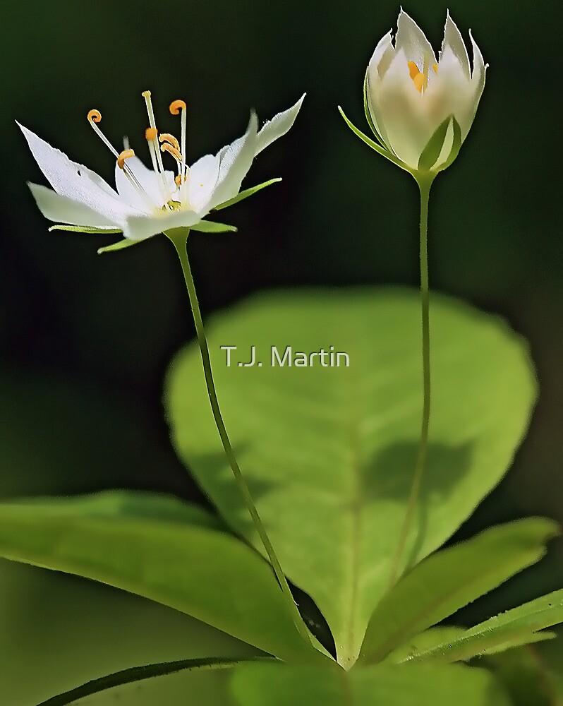 White Starflower by T.J. Martin