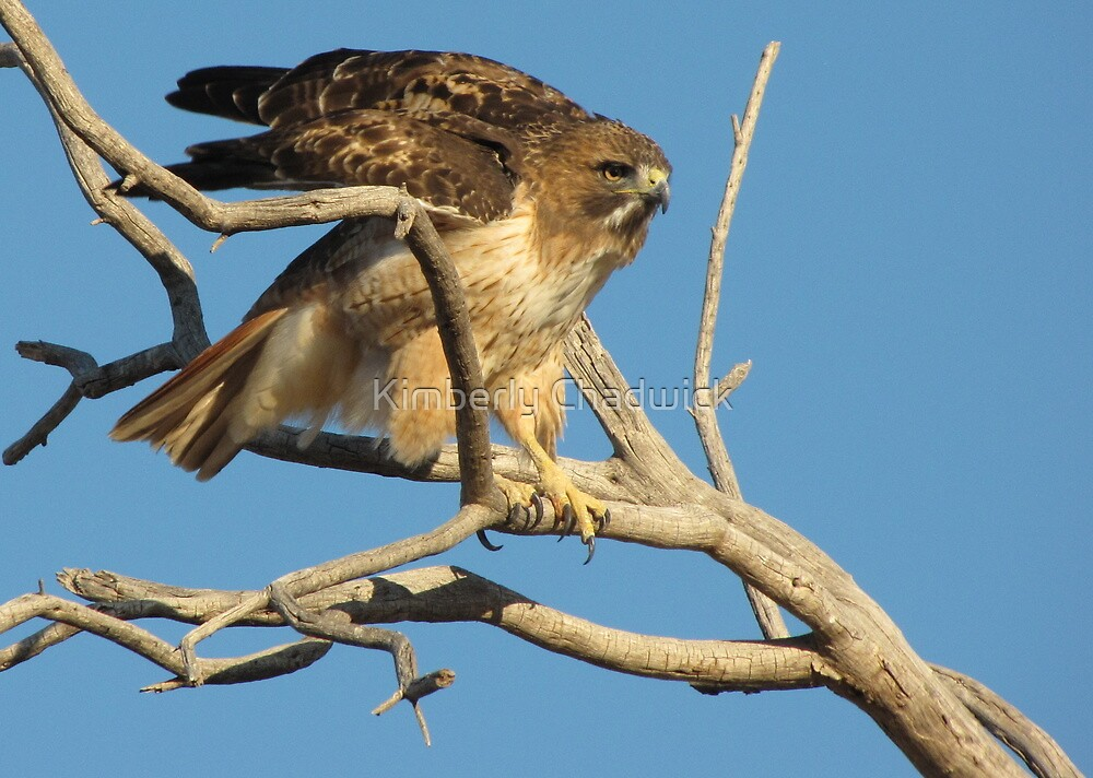 Red-tailed Hawk ~ Adjustment by Kimberly Chadwick
