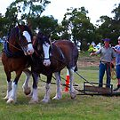 Clydesdales working at Trafalgar, Gippsland by Bev Pascoe
