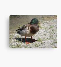 Quack! Quack! Metal Print