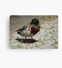Quack! Quack! Canvas Print