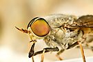 Tabanidae - March Fly by Jason Asher
