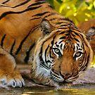 Male Sumatran Tiger by Daniel Attema