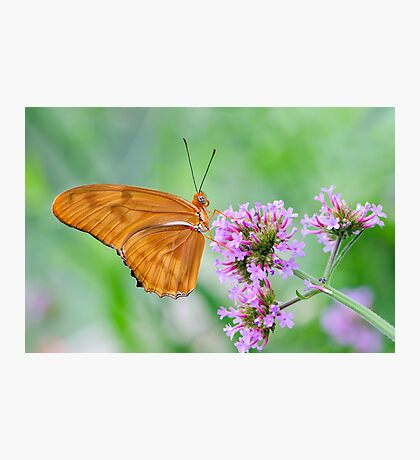 Orange Julia Butterfly Photographic Print
