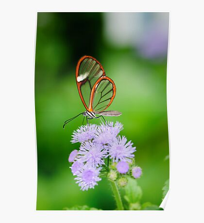 Clear Wing Butterfly   Poster