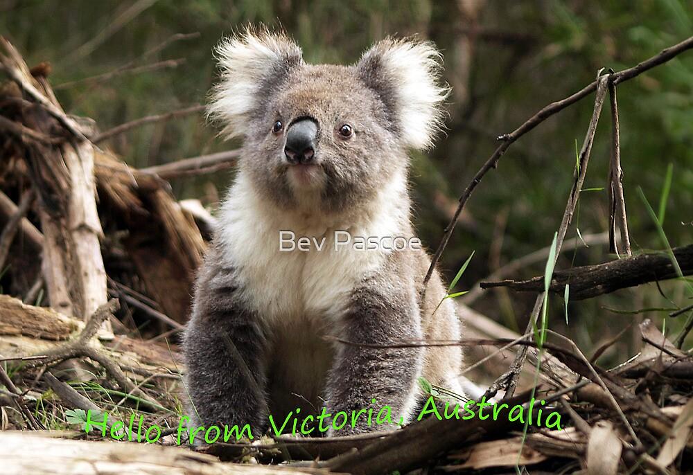 Koala in the Forest #3 - Australia by Bev Pascoe