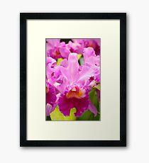 Pink Cattleya Orchids Framed Print