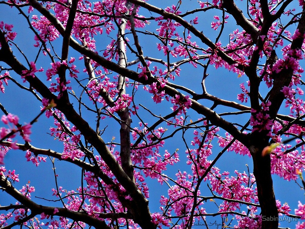 Redbud Tree Blossoms in Spring by SabinaAyne