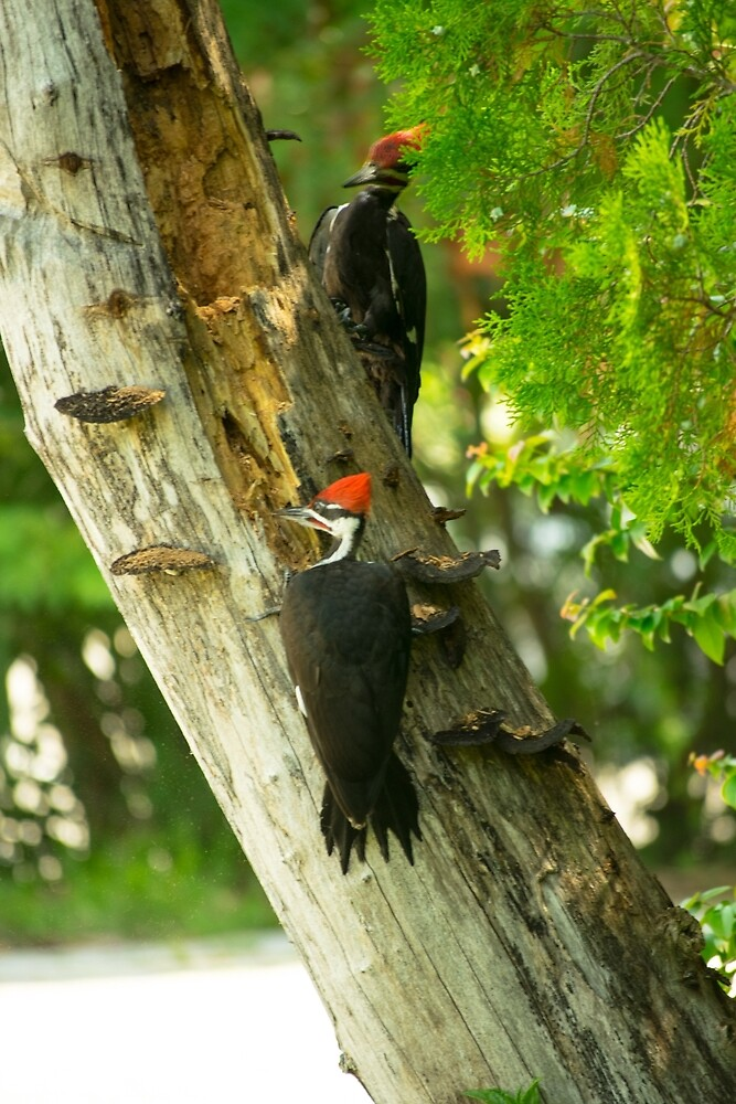 Pileated by vancer