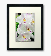 White Odontioda Orchid Framed Print