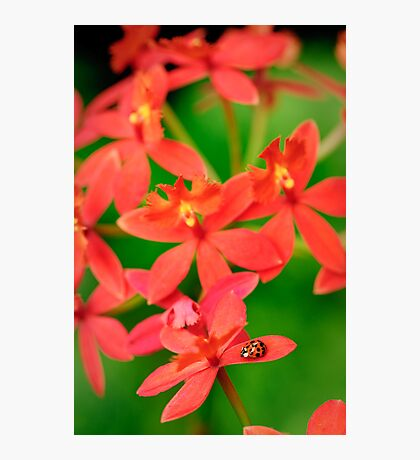 Lady Bug on Orange Orchid Photographic Print