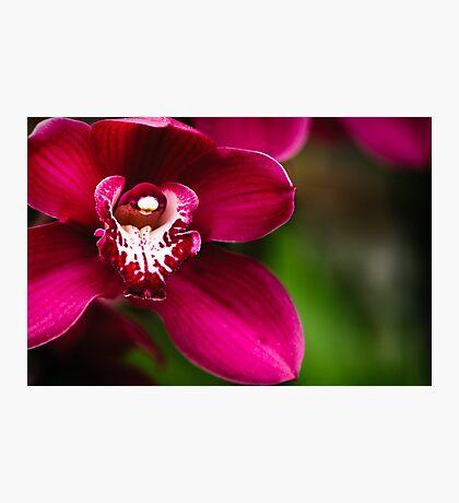 Red Cymbidium Orchid Photographic Print
