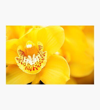 Yellow Cymbidium Orchid Photographic Print