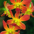 Orchid Blossoms by naturalnomad
